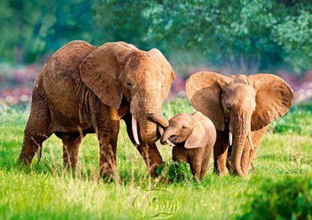 【Castorland拼圖-0500片】大象家族Elephant Family
